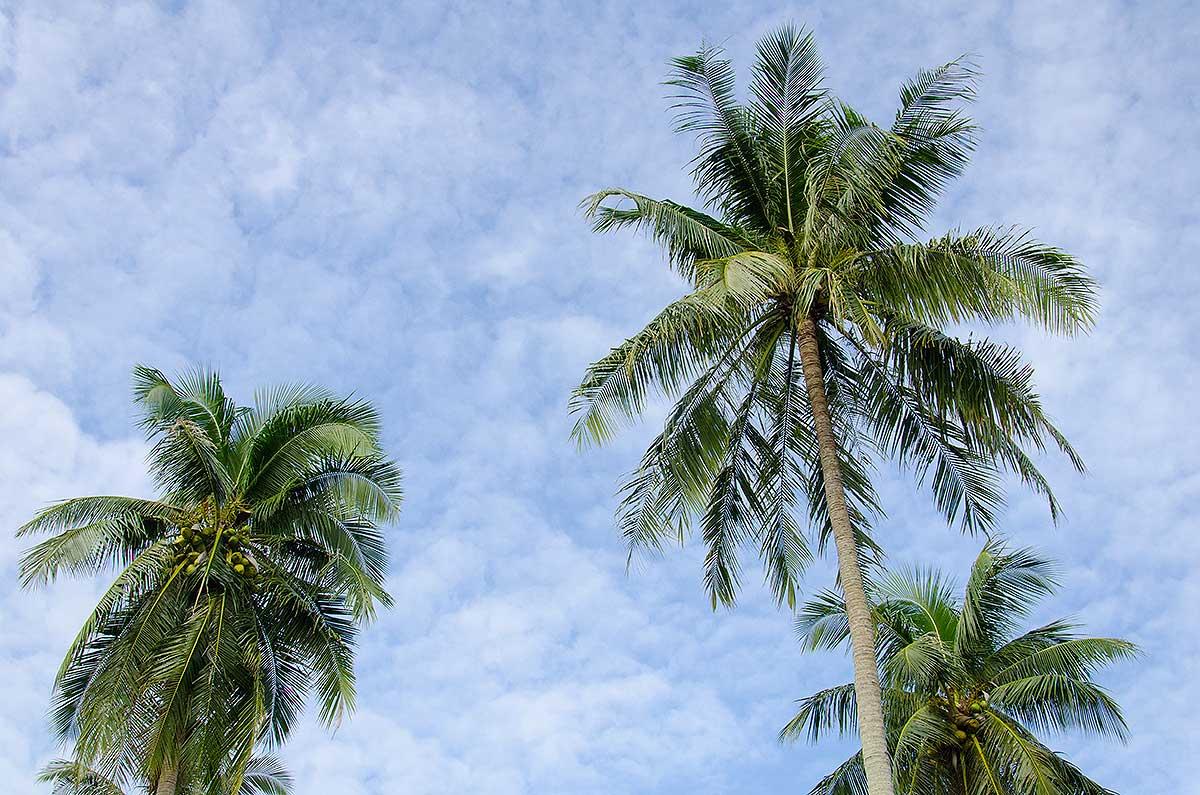Palmetræer på Anantara Hotel